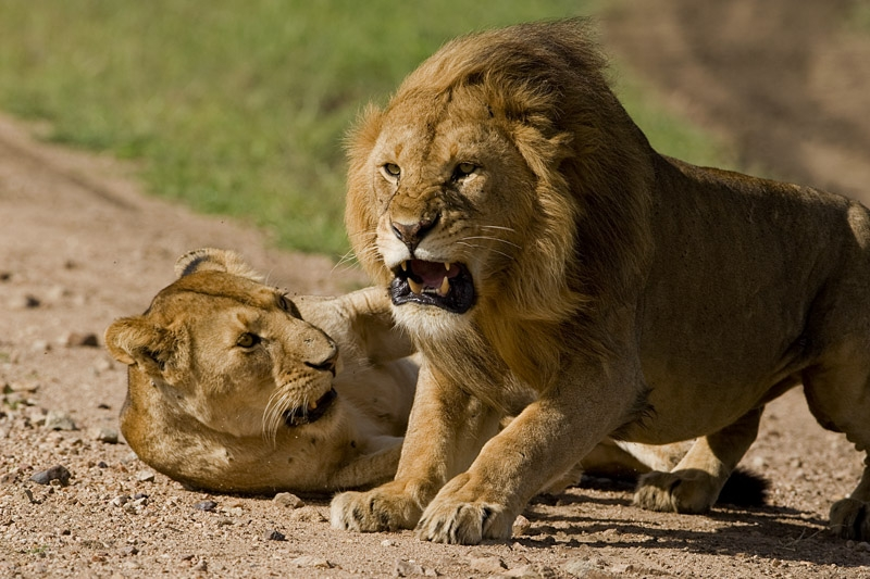 Lion-fights-for-territory-young-male-lions-fighting-dangerous-animal-attacks-news-lions-Masai-Mara-national-park-Kenya-female-and-male-lion-South-Africa-lion-park-beautiful-amazing-images