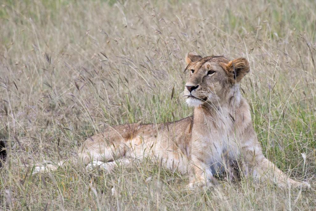 lions_lying
